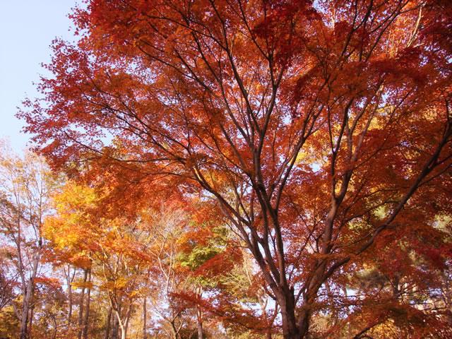 秋の森 素材提供者:星野伸 撮影場所:軽井沢 赤や黄色に染まった秋の森をのんび... 秋の森のフ