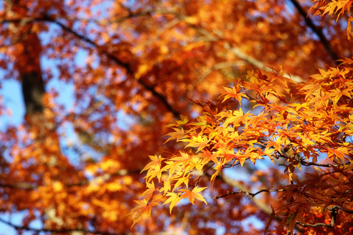秋・紅葉のフリー写真素材・無料画像112 素材提供者:- 撮影場所:- 秋・紅葉のフリー写真素材