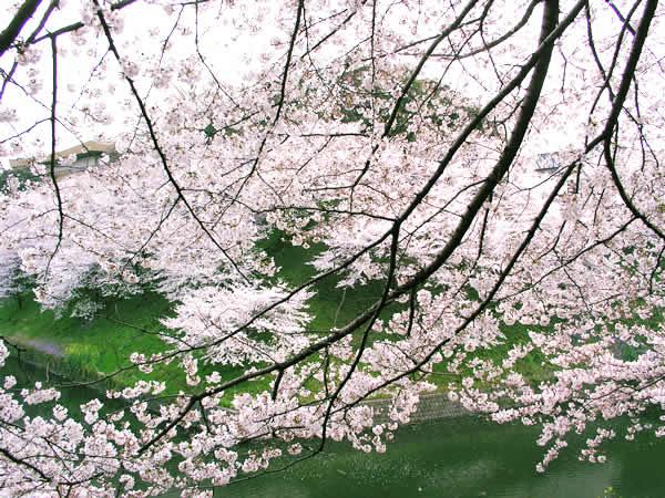 千鳥が淵の櫻 素材提供者:星野伸 撮影場所:千鳥が淵(東京都) 千鳥ヶ淵といえば、都... 千鳥