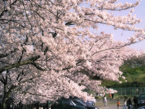 お花見 お花見のイメージ写真素材・無料素材 フリー素材屋Hoshino 草花のフリー写真素材 無