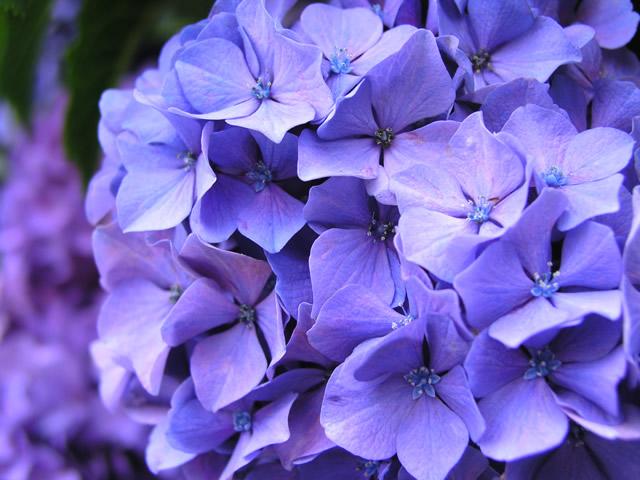 青紫のアジサイの無料写真素材