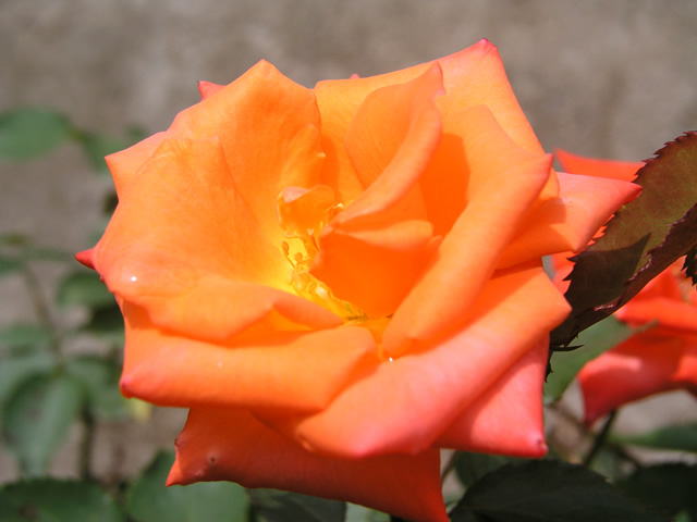 バラの画像 p1_11