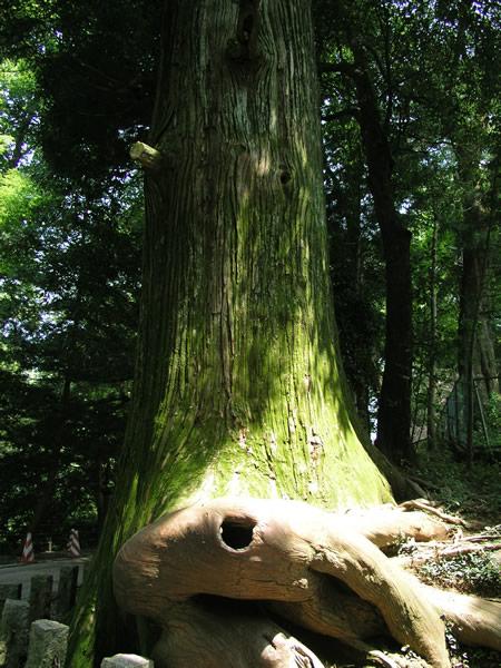 高尾山のたこ杉 素材提供者:星野伸 撮影場所:高尾山 開運の杉なのだそうです。 >> ... 高
