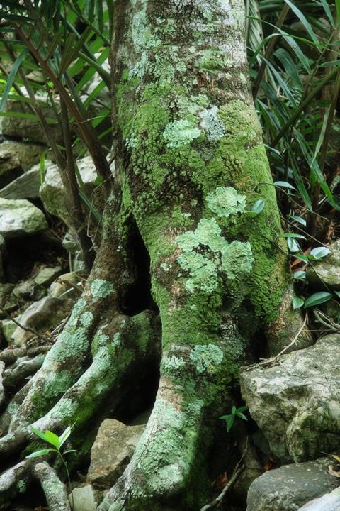 地衣類に覆われた木の幹 地衣類に覆われた木の幹 フリー素材屋Hoshino 森・林・樹木のフリー