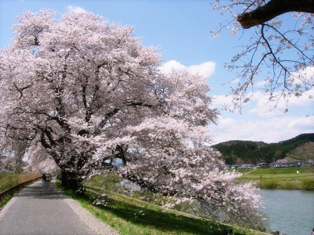 春・桜・お花見のフリー写真素材・無料画像019