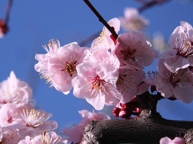 春・桜・お花見のフリー写真素材・無料画像072