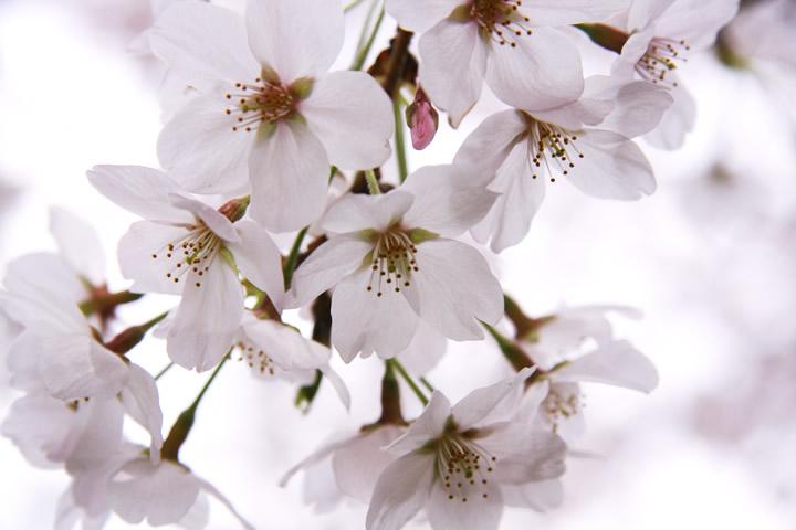 春・桜・お花見のフリー写真素材・無料画像090