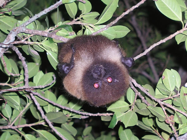 オオコウモリの画像 p1_2