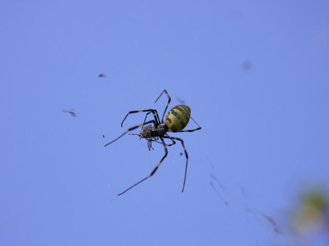 ジョロウグモの画像 p1_19