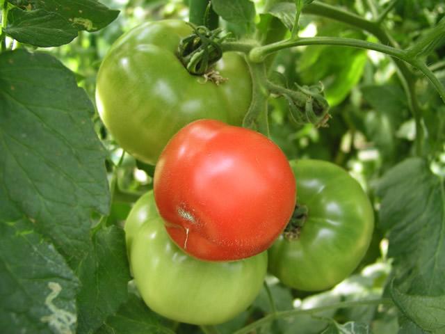 青いトマト、赤いトマト 素材提供者:usagi 撮影場所:群馬県 農園でハウス栽培されているト.
